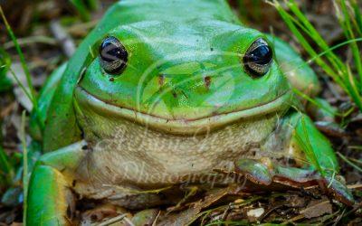 Green Tree Frog 0847