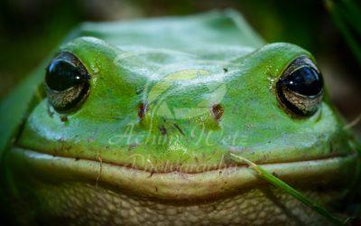 Green Tree Frog 0851