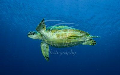 Green Turtle 6628