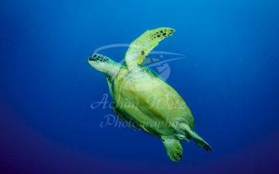 Green Turtle 6662
