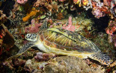 Green Turtle 6666
