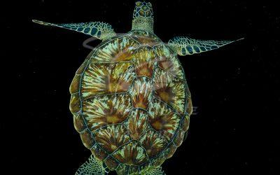 Green Turtle 6695