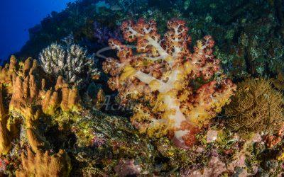 Soft Corals 6772