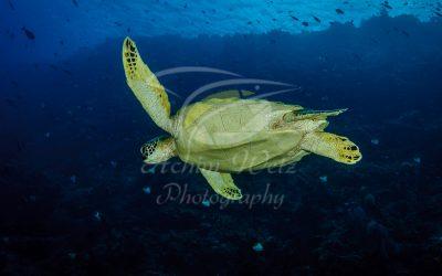 Green Turtle 6797