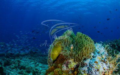 Clownfish 6876