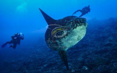 Oceanic Sunfish 3637