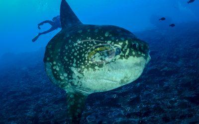 Oceanic Sunfish 3638
