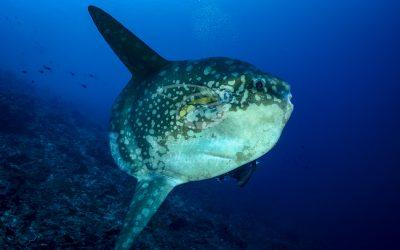 Oceanic Sunfish 3640