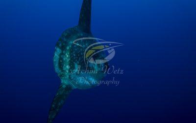 Oceanic Sunfish 3641