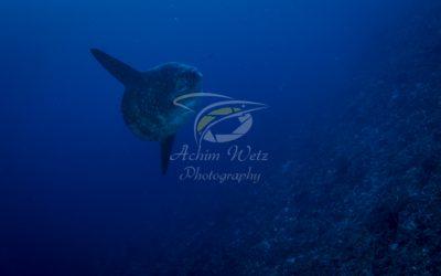 Oceanic Sunfish 3642