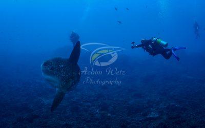 Oceanic Sunfish 3643