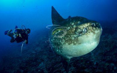 Oceanic Sunfish 3648