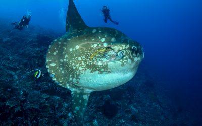 Oceanic Sunfish 3649