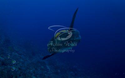Oceanic Sunfish 3650