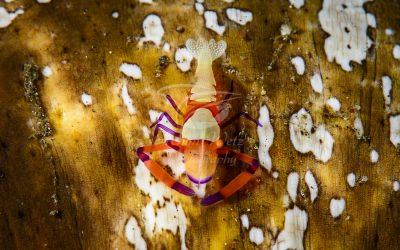 Emperor Shrimp 5275