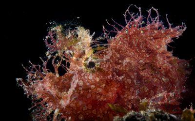Weedy Scorpianfish 6448