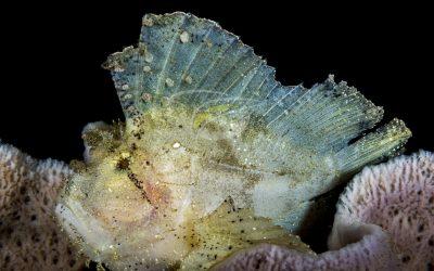 Leaf Scorpianfish 6637