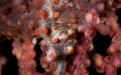 Pygmy Seahorse 8952