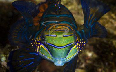 Mandarinfish 9760