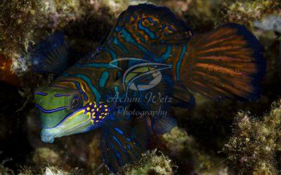 Mandarinfish 9766