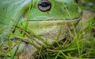 Green Treefrog 0834
