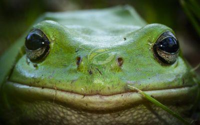 Green Treefrog 0851